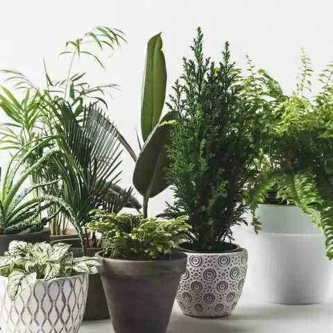 क्या आप भी चाहते हैं सुख- समृद्धि में खूब बढ़ोत्तरी, तो घर में लगाएं ये पौधे