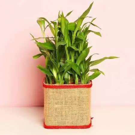 क्या आप भी चमकाना चाहते हैं अपना भाग्य, तो घर की इस दिशा में रखें बांस का पौधा