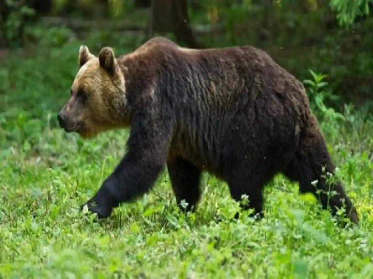 Dehradun जोशीमठ में भालू को शांत करेगा वन विभाग