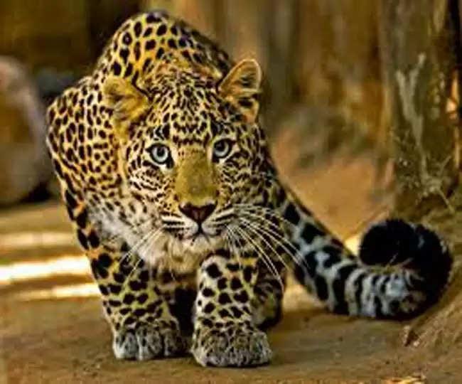 Nainital पिंजड़े में कैद हुआ तेंदुआ नरभक्षी है या बेगुनाह, बताएगा डीएनए टेस्ट