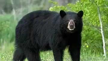 Pulwama भालू के हमले में महिला घायल, गंभीर